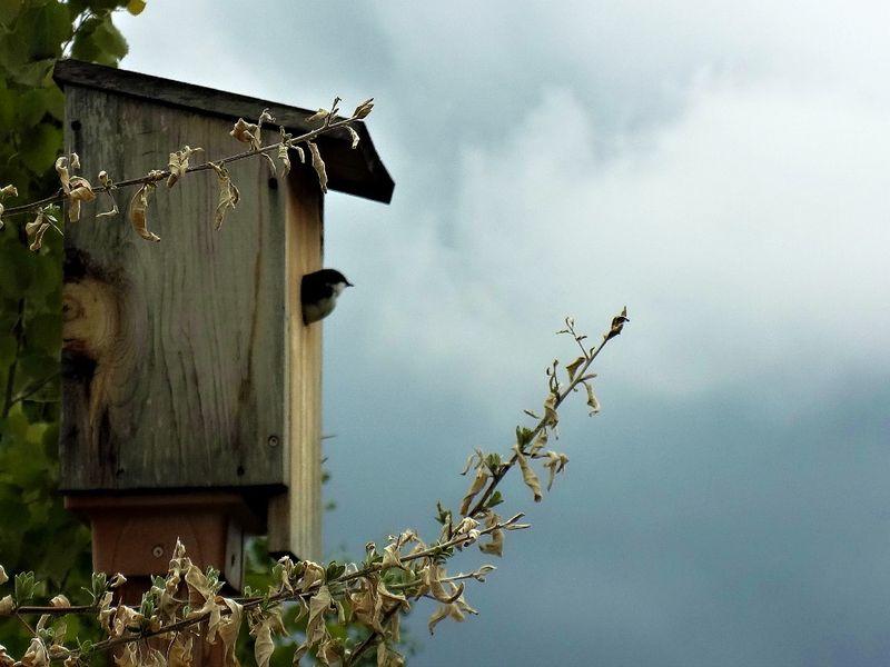 Treeswallow
